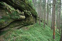 FOREST. PICEA ABIES. NORWAY SPURCE.<br /> BRTNICKY HRADEK. CESKE SVYCARSKO. CZECH REPUBLIC.