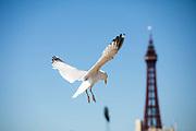 A Sea gull on Blackpool sea front, Lancashire, United Kingdom, June 29th 2018.