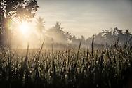 Rice field glistens in the sunlight at dawn in Ubud Area, Bali, Indonesia, Southeast Asia