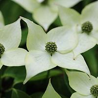 """Kousa Dogwood""<br /> <br /> Lovely white dogwood blossoms from the Kousa Dogwood!"