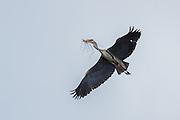 Grågegre sanker grener til reiret sitt | Gray Heron collecting brenches for their nest.
