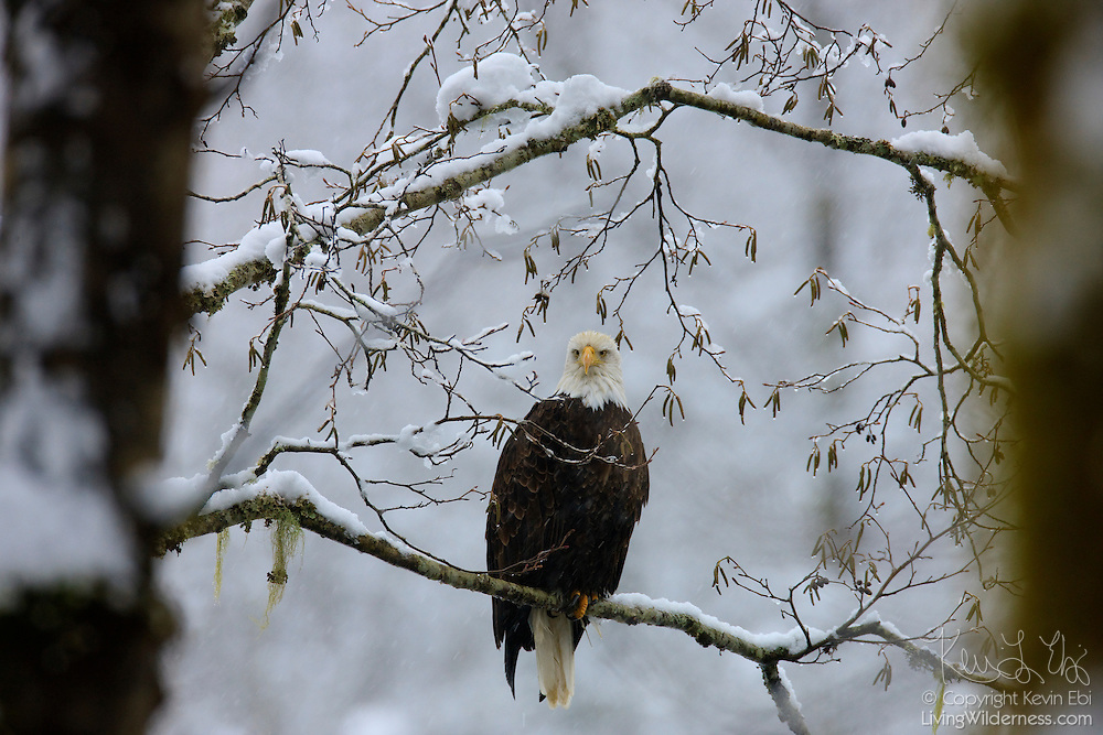 A bald eagle (Haliaeetus leucocephalus) hunts from snow-covered trees that line the Skagit River in Washington state. Several hundred eagles spend the winter along that river, feasting on spawned out salmon.