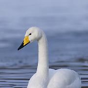 Whooper Swan (Cygnus cygnus) in Japan.