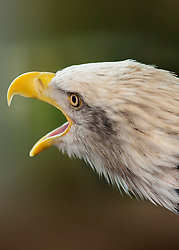 For such a powerful bird, the Bald Eagle emits surprisingly weak-sounding calls - usually a series of high-pitched whistling or piping notes. The female may repeated a single, soft, high-pitched note that has been called 'unlike any other calls in nature', apparently this signals her readiness for copulation.