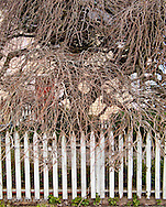 Camperdown Elm in Friday Harbor, San Juan Island, Washington, USA