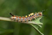 Vapourer Moth, Caterpillar, Orgyia antiqua, feeding on leaf, eating, tufts of hair on back, larvae, yellow, red, black