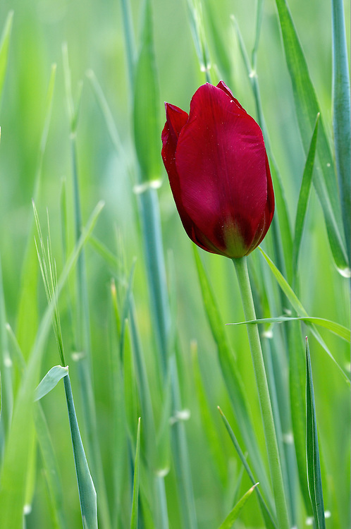 Cyprus Tulip (Tulipa Cypria), Hisarköy, Northern Cyprus