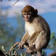Young Gibraltar Monkey Barbary Ape Macaque, Gibraltar, Spain (January 2007)