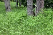 Numerous bracken ferns (Pteridium aquilinum) form a forest carpet beneath the grand fir (Abies grandis) trees in the Bloedel Reserve on Brainbridge Island, Washington.