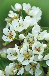 Pear blossom - Pyrus 'Doyenne du Comice'