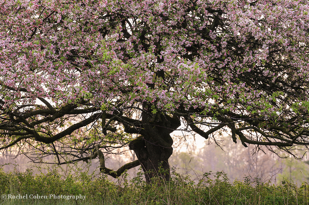 """""""Foggy Spring Morning"""" <br /> <br /> Beautiful sunlight and fog through  an apple tree full of spring blossoms in April!"""