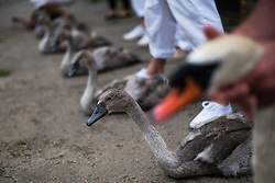 © Licensed to London News Pictures. 20/07/2015. A row of five Cygnets and a swan sitting on the riverbank waiting to be examined. Swan Upping takes place on the River Thames near Windsor, Berkshire, UK. The annual event dates from medieval times, when The Crown claimed ownership of all mute swans which were considered an important food source for banquets and feasts. Today, the cygnets are weighed and measured to obtain estimates of growth rates and the birds are examined for any sign of injury, commonly caused by fishing hook and line. The cygnets are ringed with individual identification numbers by The Queen's Swan Warden, whose role is scientific and non-ceremonial. The Queen's Swan Marker produces an annual report after Swan Upping detailing the number of swans, broods and cygnets counted during the week. Photo credit: Ben Cawthra/LNP