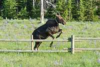 While driving through the mountains, I spotted a couple moose in the distance. They were grazing among the lupine wildflowers at the edge of the forest. Almost as soon as I pulled over, this cow jumped over the fence and crossed the road right behind me, followed by her calf. I was glad I had my camera ready with the telephoto lens attached. A moose on 4 legs is already the tallest mammal in North America. But judging by the fence posts, this moose was 8-9 feet tall standing on it's hind legs. The collar this cow is wearing is part of a 2-3 year moose ecology study by the University of Wyoming.