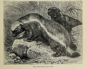 The honey badger (Mellivora capensis), also known as the ratel [Here as Cape Ratel] is a mammal widely distributed in Africa, Southwest Asia, and the Indian subcontinent. From the book ' Royal Natural History ' Volume 2 Edited by Richard Lydekker, Published in London by Frederick Warne & Co in 1893-1894