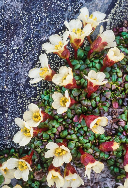 Diapensia wildflowers, Alaska, USA