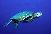 Green Sea Turtle swimming.(Chelonia mydas).Hawaii