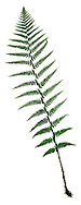 Male Fern<br /> dryopteris felix-mas