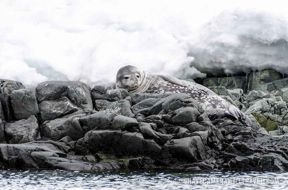 A Weddell seal rests on rocks on the shoreline at Hydrurga Rocks on Two Hummock Island on the western side of the Antarctic Peninsula.