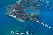 humpback whale calf, riding on head of mother, Megaptera novaeangliae, near Nomuka Island, Ha'apai group, Kingdom of Tonga, South Pacific