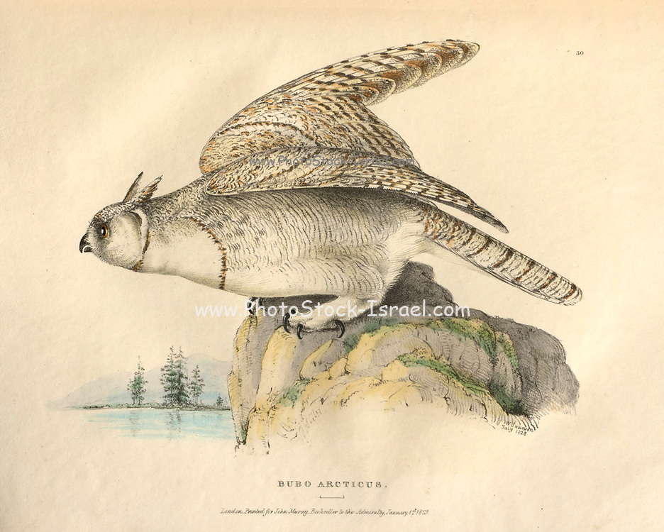 Great Horned Owl (Bubo arcticus) color plate of North American birds from Fauna boreali-americana; or, The zoology of the northern parts of British America, containing descriptions of the objects of natural history collected on the late northern land expeditions under command of Capt. Sir John Franklin by Richardson, John, Sir, 1787-1865 Published 1829