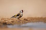 European Goldfinch (Carduelis carduelis) near the water, negev desert, israel