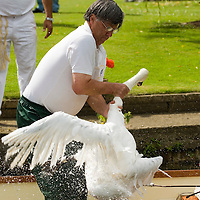 Annual swan upping,  River Thames, Windsor, Berkshire, England , 16 Jul 2007. ..The annual swan upping takes place during the third week of July when the parent birds are in moult and the cygnets are too small to fly..Swan Upping dates from medieval times when the Crown claimed ownership of all mute swans at a time when swans were considered an important food source for banquets and feasts. Today the Crown retains the right to ownership of all unmarked mute swans in open water, but The Queen only exercises her ownership on certain stretches of the River Thames and it's surrounding tributaries. This ownership is shared with the Vinters' and Dyers' Companies who were both granted rights of ownership by the Crown in the fifteenth century. The swans are counted but no longer eaten. The Queen's Swan Marker, accompanied by the Swan Uppers of the Vinters' and Dyers' livery companies, uses six traditional Thames rowing skiffs in their five day journey upstream as far as Abingdon. By tradition scarlet uniforms are worn by The Queen's Swan Marker and Swan Uppers, and each boat flies their appropriate flags and pennants. The Queen's Swan Marker produces a report at the completion of Swan Upping each year which provides data on the number of swans accounted for, including broods and cygnets. The cygnets are weighed and measured to obtain estimates of growth rates and the birds are examined for any sign of injury, commonly caused by fishing hooks and line. .