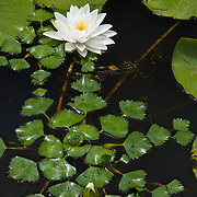 NYMPHAEA ODORATA AND INVASIVE WATER CHESTNUT - TRAPA NATANS