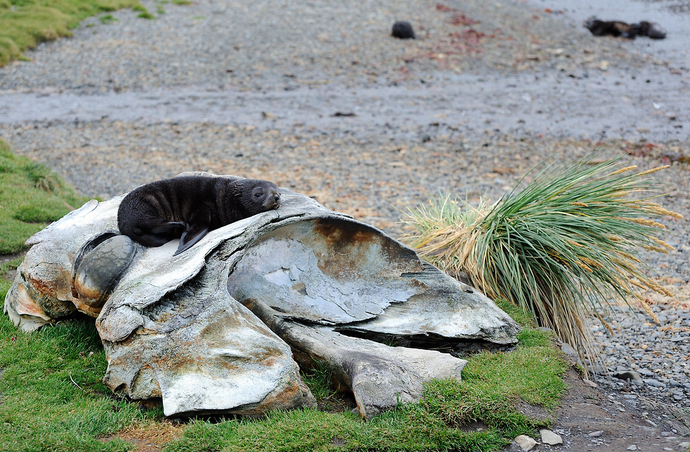 The ancient remains of whales lie on the beach among the ruins of the whaling station. A young Antarctic fur seal (Arctocephalus gazella) takes advantage. Grytviken, South Georgia 20Feb16