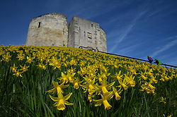 © Licensed to London News Pictures. 03/03/2016. York, UK. Spring daffodils on display at Clifford's Tower, York. Photo credit : Anna Gowthorpe/LNP