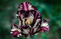 Tulip breaking virus effecting Tulipa 'Bleu Aimable'