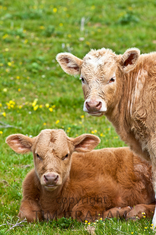 Young brown calves in buttercup meadow, County Clare, West of Ireland