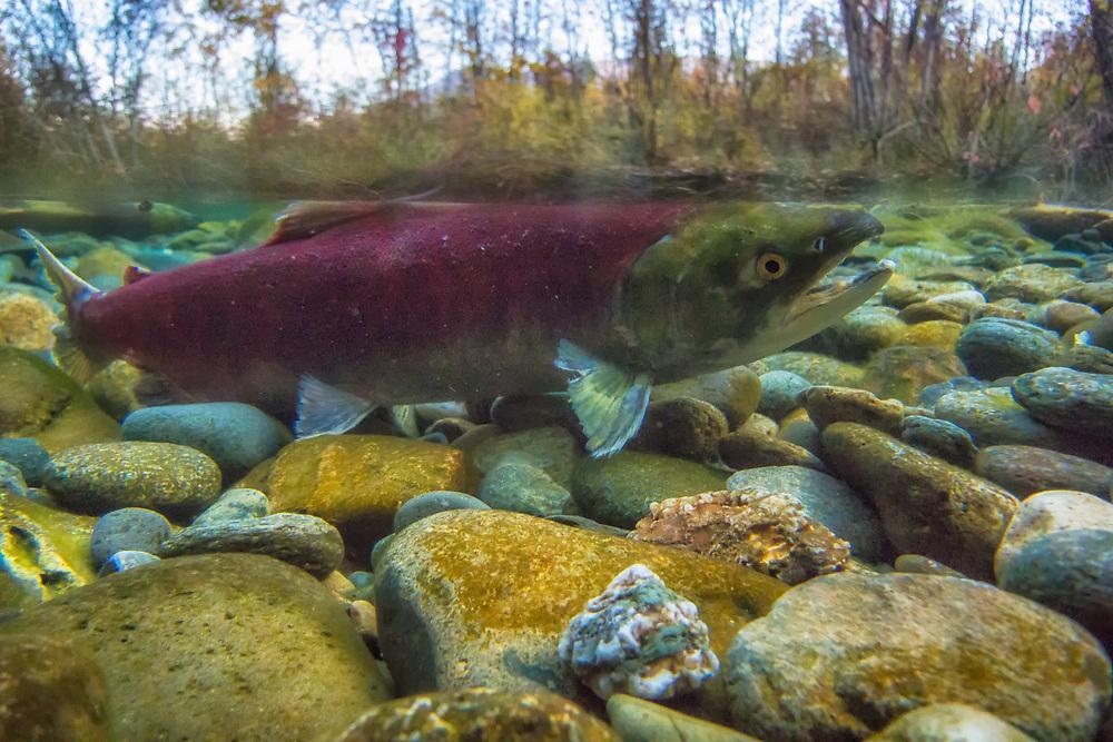 Sockeye salmon spawning in the Adams River.