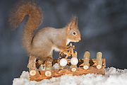 "EXCLUSIVE<br /> Photographer Pictures Squirrels With Tiny Musical Instruments Through Kitchen Window<br /> <br /> Some years ago, squirrels started to come to photographer Geert Weggen's  garden, He decided to build an outside studio from a balcony and started to shoot photos his kitchen window, Some days upto 6 squirrels visit Geert daily.<br /> <br /> This year Geert worked on an idea for a children's book, ""Squirrel Teaching You The Alphabet"", and was confronted with some letters like an object starting with an ""X"". That became a squirrel photo with a xylophone. From there Geert started doing a series of squirrel photos with music instruments. ""It took months to get some music instruments with the right size. I try to bring some magic, wonder and happiness with my work"", these are real photos. Sometimes I take away a wire or some food.<br /> <br /> Photo Shows: .... red squirrel standing  on a xylophone <br /> ©Geert Weggen/Exclusivepix Media"