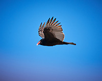 Turkey Vulture soaring. Image taken with a Nikon D3x camera and 200-400 mm f/4 VR lens (ISO 180, 400 mm, f/5.6, 1/500 sec).