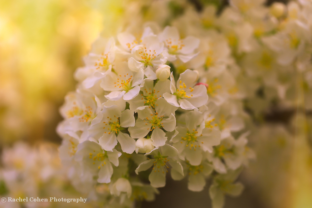 """""""Give Me that Golden Glow"""" <br /> <br /> Gorgeous delicate apple blossoms in the golden glow of sunlight!"""