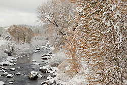 """""""Snowy Truckee River in Autumn 2"""" - Photograph of snow covered cottonwood trees along the Truckee River in Downtown Truckee."""