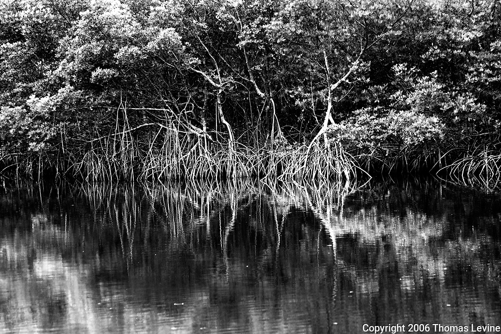 Mangrove roots in Swamp in Florida with reflections, black and white