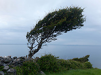 Windformed tree Hawthorn, Crataegus monogyna, Ireland western coast Burren region limestone landscape