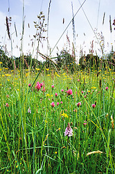The front meadow at Great Dixter with grasses, red clover (Trifolium pratense) and orchids.