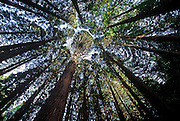 Image of trees along Wildwood Trail in Forest Park, Portland, Oregon, Pacific Northwest by Randy Wells