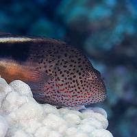 Freckled Hawkfish, Paracirrhites forsteri, (J. G. Schneider, 1801), Maui, Hawaii