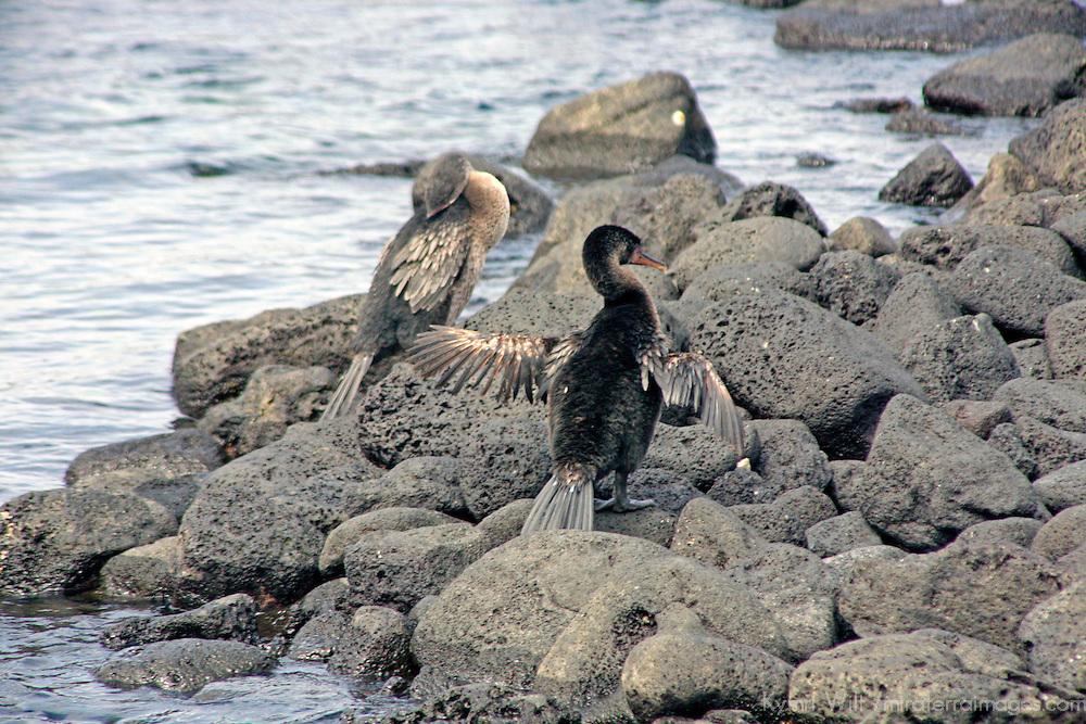South America, Ecuador, Galapagos Islands. The flightless Galapagos Cormorant.