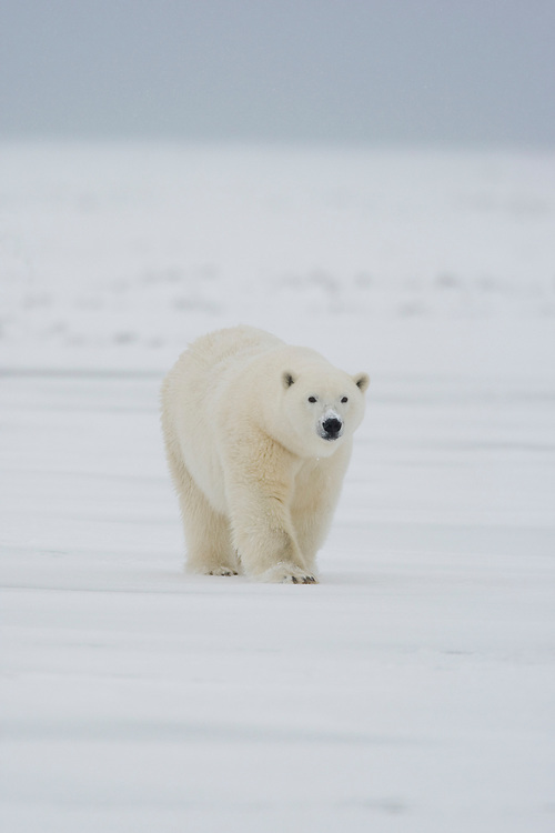 A polar bear walks across the pack ice while hunting seals on the frozen surface of the Beaufort Sea near the Arctic National Wildlife Refuge, Alaska