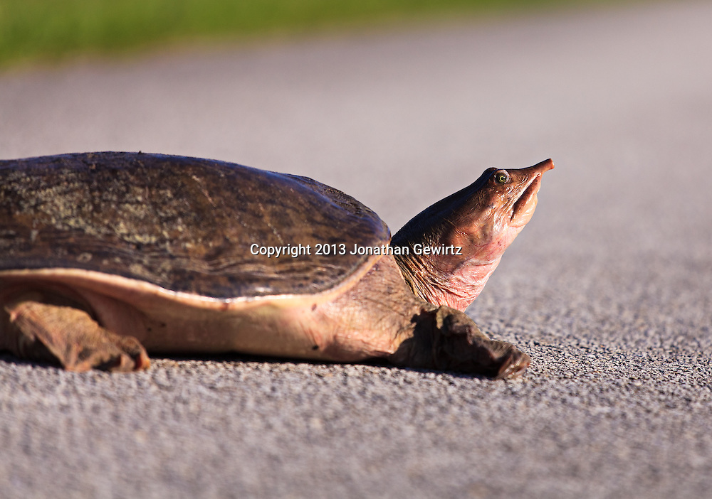 Side view of the head and forebody of a Florida Softshell Turtle (Apalone ferox) on dry pavement in the Shark Valley section of Everglades National Park, Florida. WATERMARKS WILL NOT APPEAR ON PRINTS OR LICENSED IMAGES.