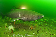 Greenland sleeper shark, Somniosus microcephalus<br /> and diver swim among plumose or frilled anemones,<br /> Metridium senile, St. Lawrence River estuary, Canada<br /> (this shark was wild & unrestrained; it was not hooked<br /> and tail-roped as in most or all photos from the Arctic)<br /> MR 374