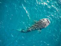Aerial view of an impressive whale shark in the sea of Mafia Island in Tanzania