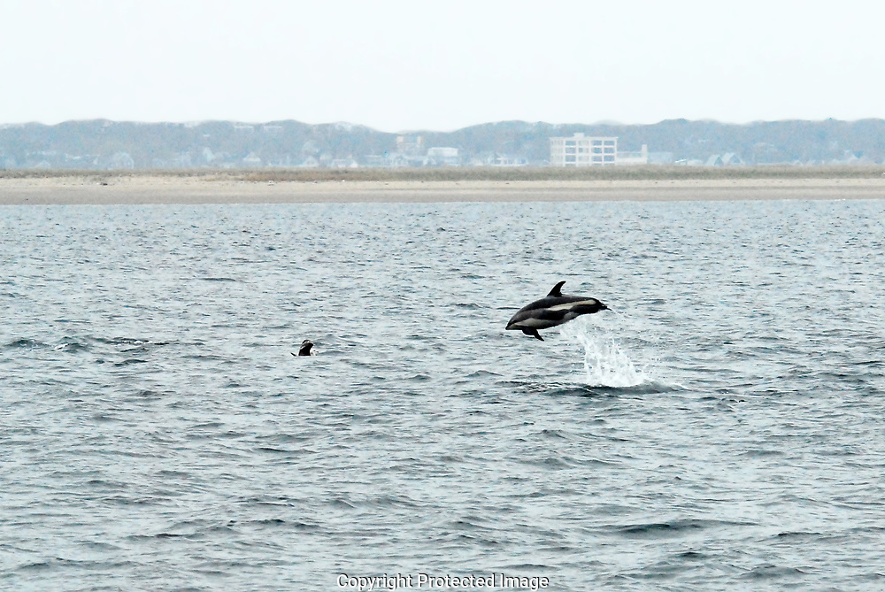 White sided dolphins jump in the waves off Provincetown, Massachusetts.
