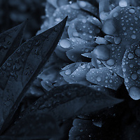 """""""Lights Off Sparkle On""""<br /> <br /> Beautiful high contrast monochrome peony with raindrops!<br /> A bit of darkness and light with a slight blue tint on this monochrome floral!"""