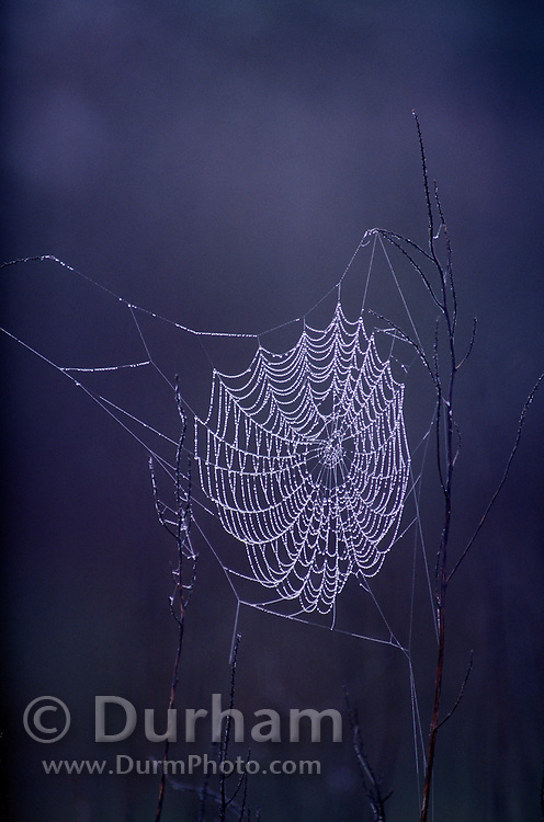 Droplets of dew clinging to a spider's web. Aransas National Wildlife Refuge, Texas.