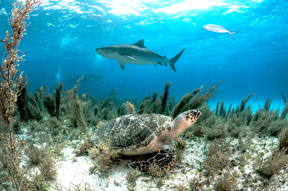 A hawksbill sea turtle (Eretmochelys imbricata) hides in the sargassum seaweed as a tiger shark (Galeocerdo cuvier) swims past. Image made off Grand Bahama Island, Bahamas.